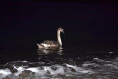 Zwaan in donkere nacht Stock Afbeeldingen