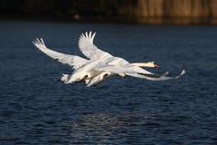 Zwaan en een reuze witte vogel - het vliegen schoonheid Royalty-vrije Stock Fotografie