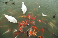 Zwaan en eend met koivissen die in vijver zwemmen stock fotografie