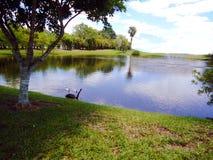 Zwaan en eenden bij het modelleren van het beeldachtergrond van het watermeer royalty-vrije stock afbeelding