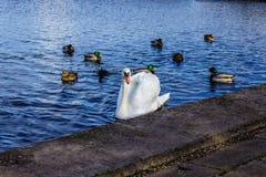 Zwaan en eenden op het meer Stock Fotografie