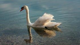 Zwaan genieten die in het meer zwemmen Stock Afbeeldingen