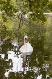 Zwaan, Groen Natuurlijk Meer, zwaan in een groen meer, royalty-vrije stock foto's