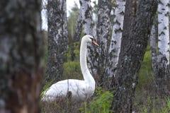 Zwaan in het bos Stock Foto