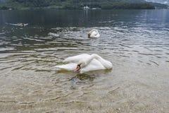 Zwaan in het meer Stock Foto