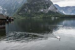 Zwaan in het meer Royalty-vrije Stock Fotografie