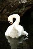 Zwaan in het meer Stock Foto's