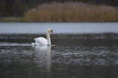 Zwaan in het meer Stock Afbeelding