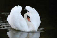 Zwaan in het meer Royalty-vrije Stock Foto's
