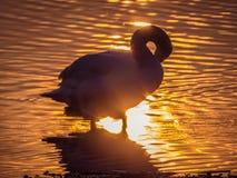 Zwaan in het meer bij zonsondergang royalty-vrije stock foto's