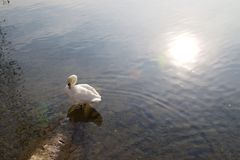 Zwaan in het Meer van Lugano royalty-vrije stock foto
