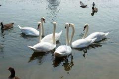 Zwaan in het park van Londen - Hyde- Royalty-vrije Stock Foto