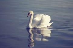 Zwaan het stellen op het meer stock fotografie