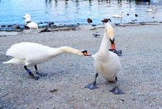 Zwaan het vechten door het meer royalty-vrije stock foto