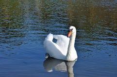 Zwaan in het water wordt weerspiegeld dat Royalty-vrije Stock Afbeeldingen