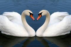 Zwaan in liefde Stock Afbeeldingen