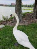 Zwaan, majestueuze, reusachtige mooie vogel, royalty-vrije stock afbeeldingen