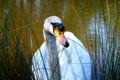 Zwaan in meer met hoog gras Stock Foto