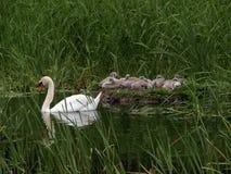 Zwaan met Jonge zwanen op nest Stock Foto