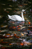 Zwaan met koivissen die in vijver zwemmen Royalty-vrije Stock Foto's