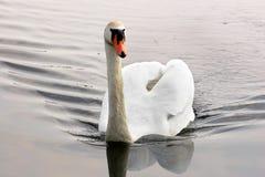 Zwaan Mooie zwaan op het water Mooie vogel royalty-vrije stock fotografie