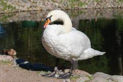 Zwaan op de kust van het pond royalty-vrije stock afbeeldingen