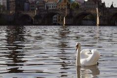 Zwaan op de rivier Vltava in Praag, dichtbij door Charles-brug Tsjechische Republiek Stock Fotografie