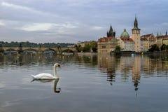 Zwaan op de Vltava-Rivier, naast Charles Bridge Praag, Tsjechische Republiek Stock Afbeelding