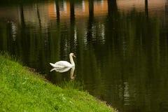 Zwaan op het meer Stock Foto's