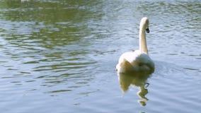 Zwaan op het meer stock videobeelden