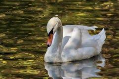 Zwaan op het meer Royalty-vrije Stock Afbeeldingen