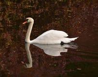 Zwaan op het meer Stock Afbeelding