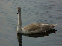 Zwaan op het meer in middag stock foto