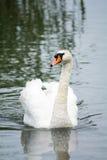 Zwaan op het water Royalty-vrije Stock Foto