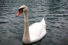 Zwaan op het water op meer Royalty-vrije Stock Fotografie