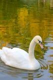 Zwaan op het water van de Aard Royalty-vrije Stock Afbeelding