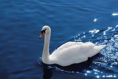 Zwaan op water, het knippen weg Royalty-vrije Stock Afbeeldingen