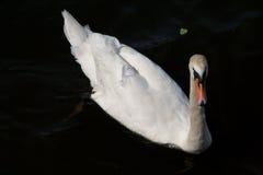 Zwaan op zwart water Royalty-vrije Stock Afbeeldingen
