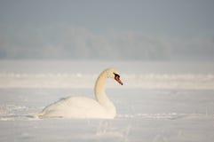 Zwaan in Sneeuw Stock Foto's