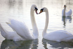 Zwaan twee in liefde stock afbeeldingen
