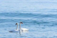 Zwaan twee op turkoois water stock afbeeldingen