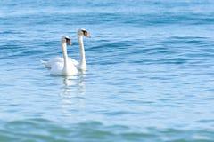 Zwaan twee op turkoois water stock foto