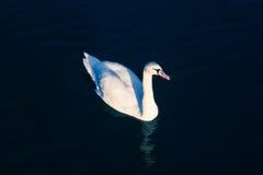 Zwaan Witte zwaan Wit op Zwarte Heldere witte zwaan backlit op een donkerblauw water Zwaan die op het meer drijven een heldere da Stock Foto