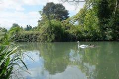 Zwaan & zegel die in rivier glijden Stock Fotografie