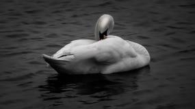 Zwaan in zwart-wit royalty-vrije stock fotografie