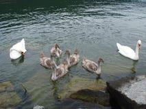 Zwaanfamilie. Stock Afbeelding