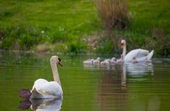 Zwaanfamilie Royalty-vrije Stock Foto's