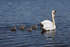 Zwaanfamilie Royalty-vrije Stock Foto