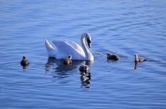 Zwaanfamilie in het water Royalty-vrije Stock Afbeelding
