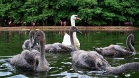 Zwaanfamilie op het water in een mooi groen park voor een familievakantie De vogels in park zwemmen, bezoekers het voeden stock footage